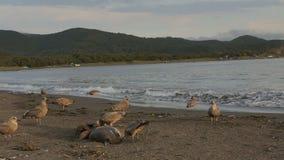 Gaviota pacífica que come el sello muerto en la playa almacen de metraje de vídeo