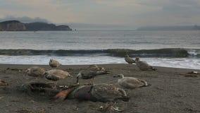 Gaviota pacífica que come el sello muerto en la playa metrajes