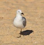 Gaviota que acecha una playa arenosa Fotografía de archivo