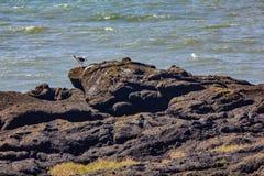 Gaviota que camina en orilla rocosa fotos de archivo