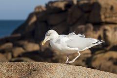 Gaviota que camina en roca Foto de archivo libre de regalías