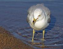 Gaviota que camina a lo largo de línea de la playa en el agua que busca la comida Fotografía de archivo