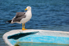 Gaviota que coloca el cuerpo completo en el borde del barco de pesca de la turquesa fotos de archivo