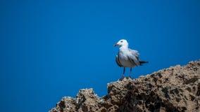 Gaviota que espera en la roca Imagen de archivo libre de regalías