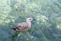 Gaviota que flota en las ondas Agua transparente clara de la turquesa del mar adriático Imagen de archivo libre de regalías