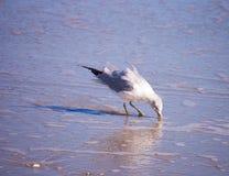 Gaviota que forrajea en la playa Imágenes de archivo libres de regalías