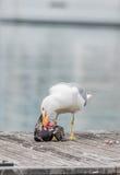 Gaviota que mata a una paloma Fotos de archivo