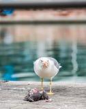 Gaviota que mata a una paloma Imagenes de archivo
