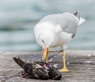 Gaviota que mata a una paloma Fotografía de archivo