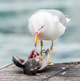 Gaviota que mata a una paloma Imagen de archivo libre de regalías