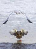 Gaviota que persigue un pato Imágenes de archivo libres de regalías