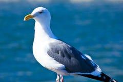 Gaviota que presenta con el fondo azul del mar Fotografía de archivo libre de regalías