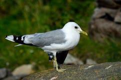 Gaviota que presenta en el canto rodado grande de la costa Foto de archivo libre de regalías