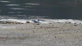 Gaviota que se baña en un lago