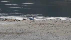 Gaviota que se baña en un lago metrajes