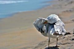 Gaviota que se coloca en la arena a lo largo de la preparación del océano Foto de archivo