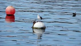 Gaviota que se coloca en la boya de amarre que se atusa Monterey CA metrajes