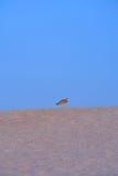 Gaviota que se coloca encima de una duna de arena Fotografía de archivo libre de regalías