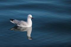 Gaviota que se sienta en el agua azul de la reflexión del océano Imágenes de archivo libres de regalías