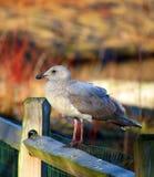 Gaviota que se sienta en la cerca Fotografía de archivo