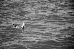 Gaviota que se sienta en la superficie del océano Foto de archivo libre de regalías