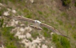 Gaviota que vuela bajo Imagen de archivo libre de regalías