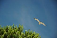Gaviota que vuela sobre árbol de pino Foto de archivo libre de regalías