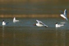 Gaviota que vuela sobre el lago Foto de archivo
