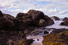 Gaviota que vuela sobre la costa rocosa en el puerto Macquarie Australia Imagenes de archivo