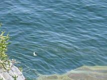 Gaviota rápida en el mar y el acantilado azules en la isla Fotografía de archivo libre de regalías