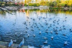 gaviota Rojo-cargada en cuenta en el parque de Cuihu, Kunming, Yunnan, China imagen de archivo