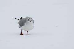 Gaviota sola en invierno foto de archivo libre de regalías