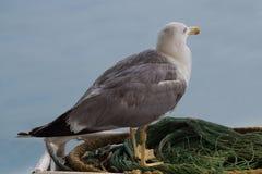 Gaviota solitaria que se coloca en una red del pescador Fotografía de archivo libre de regalías