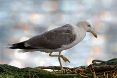 Gaviota solitaria que se coloca en una red del pescador Fotografía de archivo