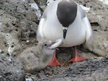 Gaviota Swallow-tailed Fotografía de archivo libre de regalías