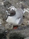 Gaviota Swallow-tailed Foto de archivo libre de regalías