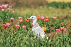 Gaviota y tulipanes imágenes de archivo libres de regalías