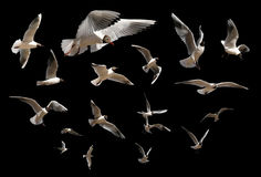 Gaviotas aisladas en negro Imagen de archivo libre de regalías