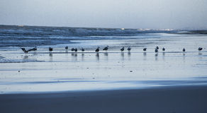 Seagulls at dawn Royalty Free Stock Photography