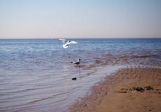 gaviotas Amarillo-legged en la playa fotos de archivo