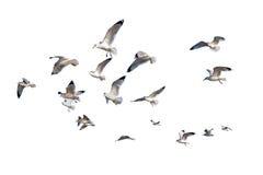 gaviotas Anillo-cargadas en cuenta aisladas contra blanco Fotos de archivo libres de regalías