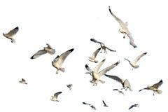gaviotas Anillo-cargadas en cuenta aisladas contra blanco Foto de archivo libre de regalías