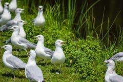 gaviotas Anillo-mandadas la cuenta Foto de archivo