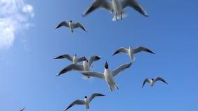Gaviotas animales del pájaro que vuelan en el cielo azul claro metrajes