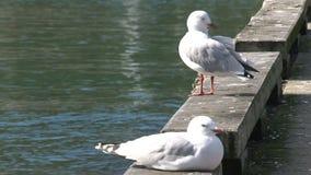 Gaviotas cerca del puerto en la bahía de oro, Nueva Zelanda almacen de video