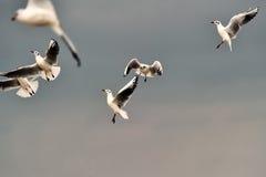 Gaviotas de arenques Fotografía de archivo libre de regalías