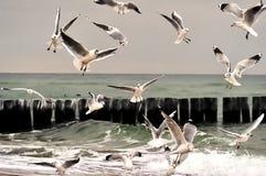 Gaviotas de arenques Imagen de archivo