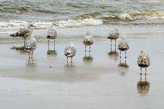 Gaviotas de arenques jovenes en el mar Foto de archivo libre de regalías