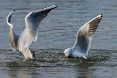 Gaviotas de cabeza negra que se zambullen en el agua del lago para el pan foto de archivo libre de regalías