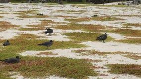 Gaviotas de la lava que jerarquizan en una playa en genovesa del isla en las Islas Gal?pagos metrajes